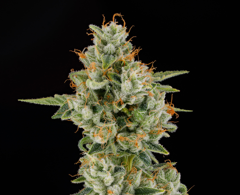 Premium Cannabis Flower - Cannabiotix Nevada Genetically